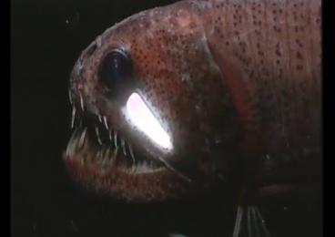 Embedded thumbnail for Bioluminescence